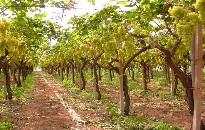 Il territorio cantine toniatti giacometti - Potatura uva da tavola ...