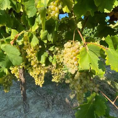 Filari di uva delle Cantine Toniatti Giacometti
