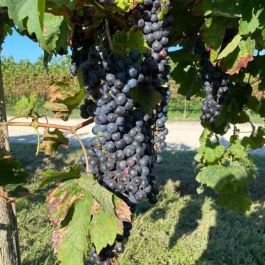 Uva nera coltivata da Toniatti Giacometti