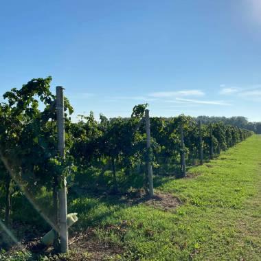 Le vigne Toniatti Giacometti